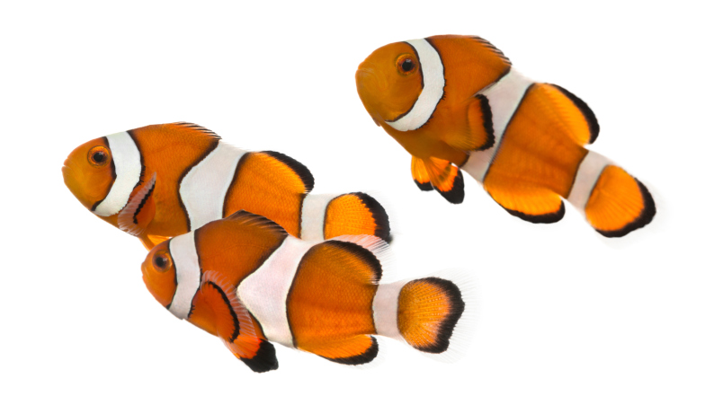 Group of Ocellaris clownfish, isolated on white